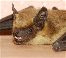 bat control Watauga