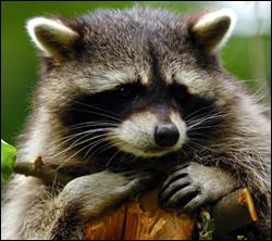 raccoon control Watauga