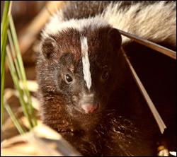 skunk control Watauga